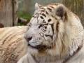 tygr indický bílý