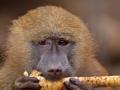 pavián babuin