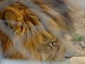 08 lev pustinný ZOO Tábor