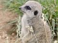 11 surikata mládě ZOO Tábor