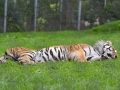 19 tygr usurijsky ZOO Tábor