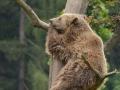 20 medvěd hnědý na strome ZOO Tábor