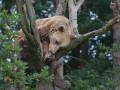 20a medved stromovy ZOO Tábor