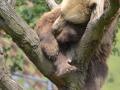 21 medvěd hnědý spící ZOO Tábor