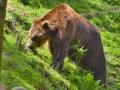 22 medvěd hnědý pasoucí se ZOO Tábor