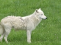 25 vlk arktický ZOO Tábor