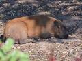 kapybara_800