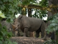 nosorožec tuponosý jižní_800
