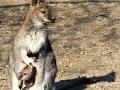 klokan rudokrký