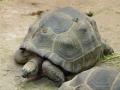 želva obrovská