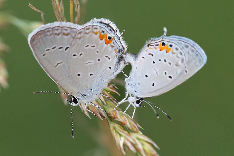 laska-motyli