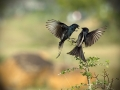 laska-ptacci
