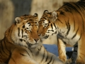 laska-tygri