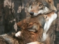 laska-vlci