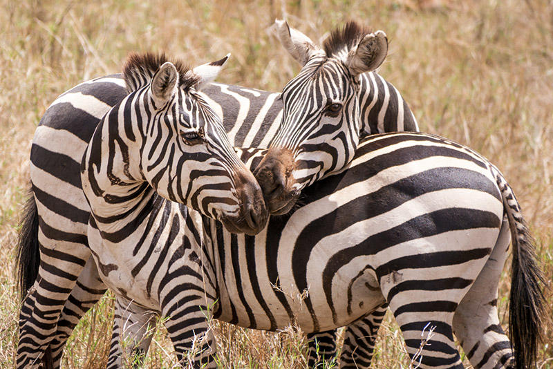 zebry-laska