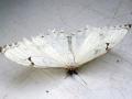 motyli-fata-morgana-10