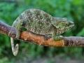 chameleon-kratkorohy