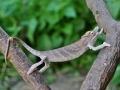 chameleon-mensi