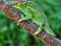 chameleon-willsuv
