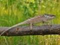 chameleon-zlutozeleny