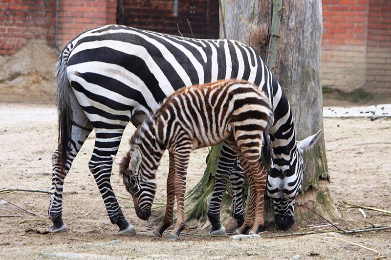 zebra-bezhriva