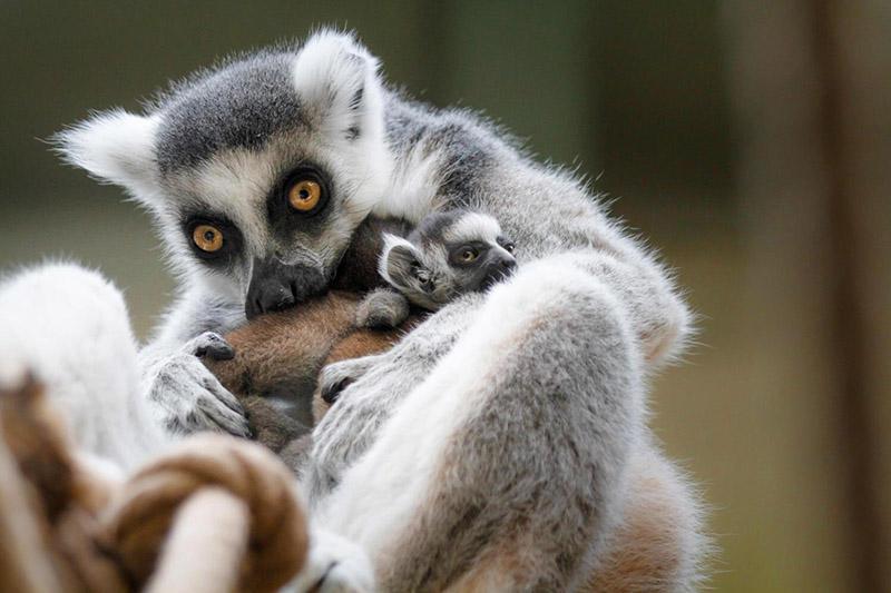 lemur-kata-dvur