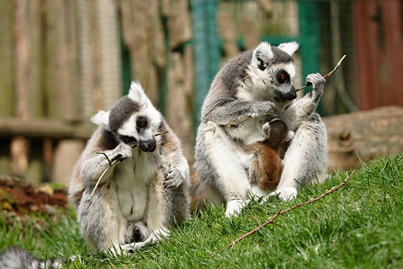 lemur-kata-zajezd