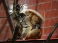 lemur-cerny-brno