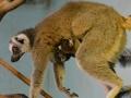 lemur-kata-usti