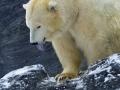 medvěd lední