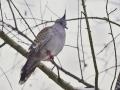 holub chocholatý