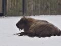 zubr bizon
