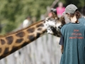 žirafy v jihlavské zoo-11