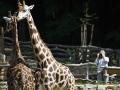 žirafy v jihlavské zoo-02