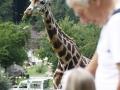 žirafy v jihlavské zoo-06