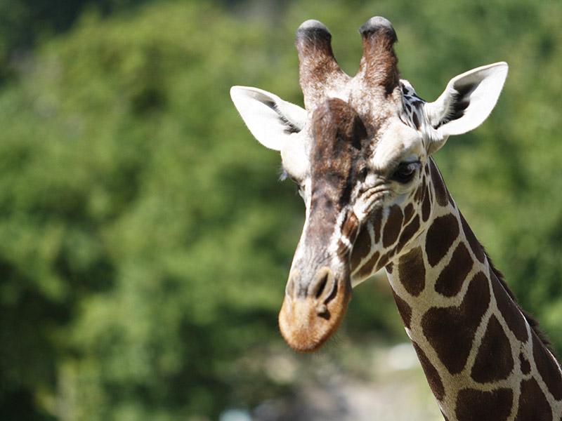 žirafy v jihlavské zoo-12