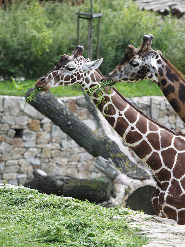 žirafy v jihlavské zoo-13