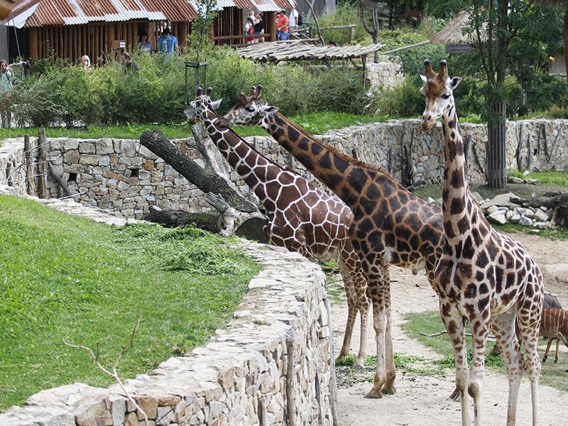 žirafy v jihlavské zoo-01