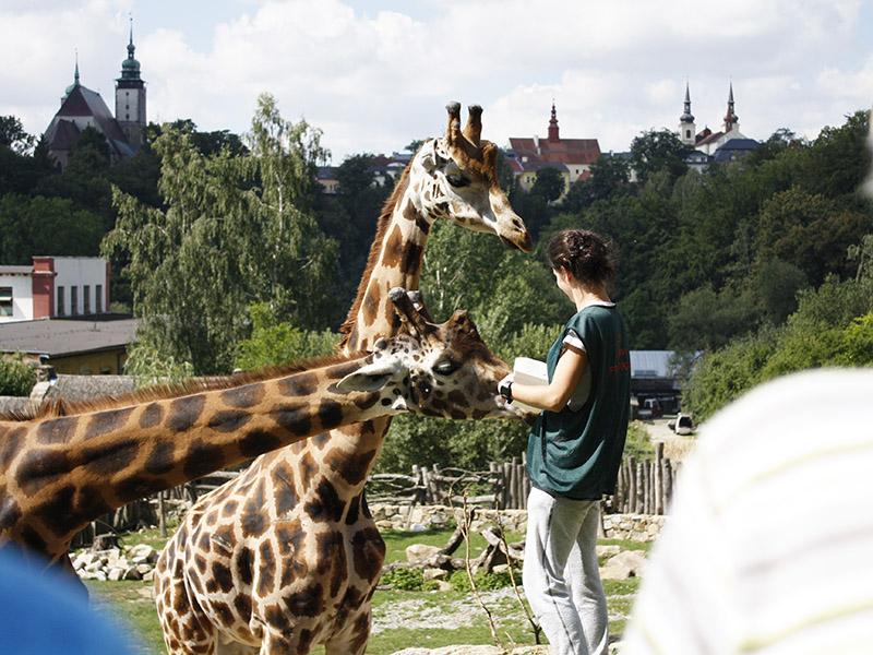 žirafy v jihlavské zoo-03