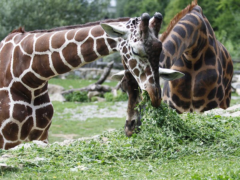žirafy v jihlavské zoo-05