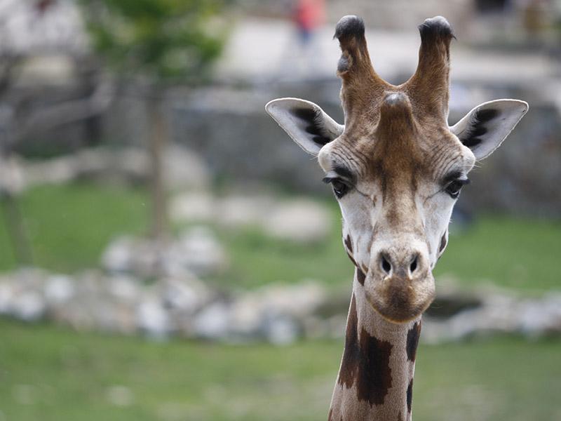 žirafy v jihlavské zoo-14