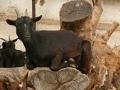 Koza holandská zakrslá (Capra aegagrus)