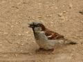 Vrabec domácí M (Passer domesticus)