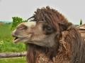 Velbloud dvouhrbý domácí (Camelus bactrianus bactrianus)