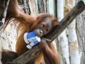 Orangutani v ZOO Praha