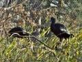 ibis_hnedy_800
