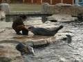 krmení tuleňů