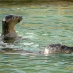 Tuleni v ZOO Ústí slaví rok v novém bazénu