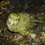Na Zemi je 7 miliard lidí. Ale jen 126 kakapů