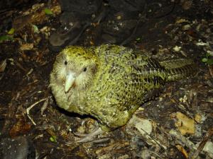 Kakapo soví